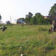 Построение стада коров
